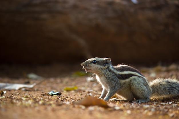 Eekhoorn of knaagdier of ook wel bekend als chipmunk die op de grond staat gepauzeerd