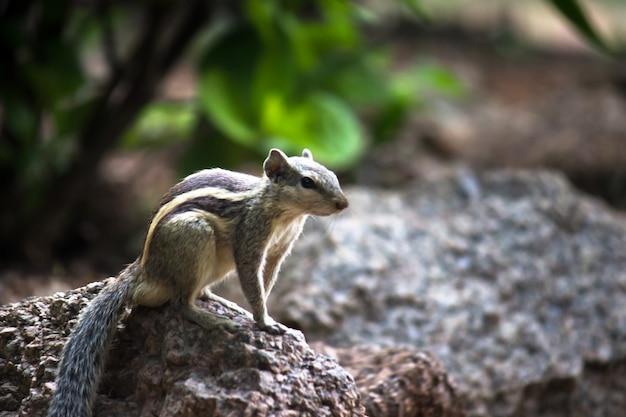 Eekhoorn of knaagdier of ook wel bekend als chipmunk on the rock