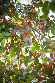 Eekhoorn op boom die fruitvoedsel eet.