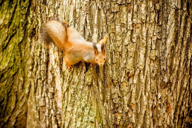 Eekhoorn op boom. schattige eekhoorn op boom naar beneden te kijken.