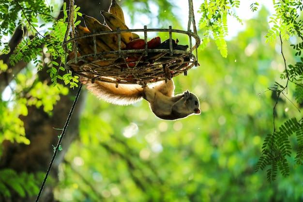 Eekhoorn op de boom die bananen en vruchten in mand probeert te eten