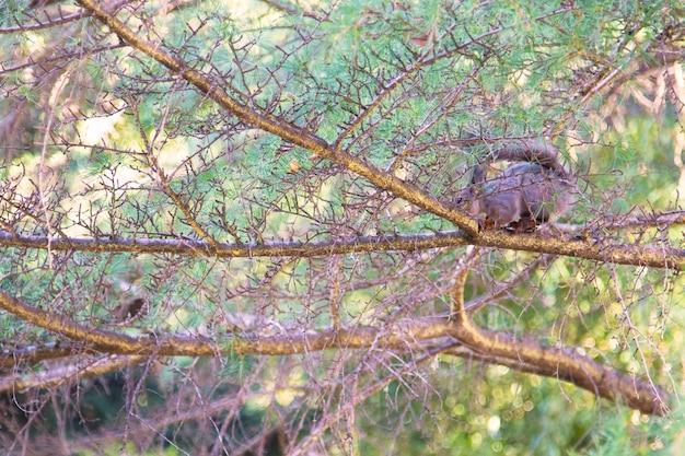 Eekhoorn op de boom trtakken van een naald groene boom, tussen de takken een wazig silhouet van een eekhoorn. natuurlijke achtergrond, het concept van de schoonheid van natureunk in het stadspark.