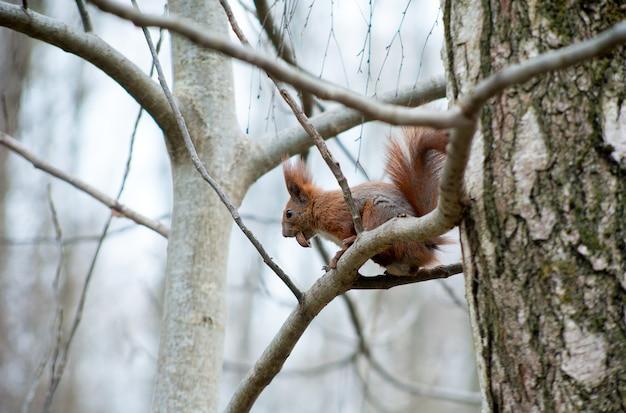 Eekhoorn zittend op boomtakken, knagen aan een noot in het park, onderaanzicht