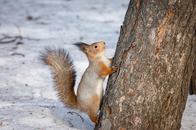 Eekhoornboom in de winter