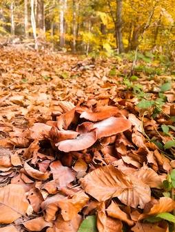 Eekhoorntjesbrood groeit in herfst bos. paddenstoelen plukken