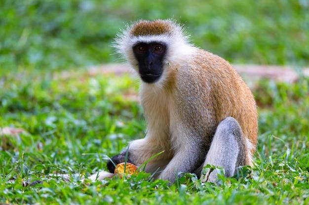 Een aap doet een fruitmaaltijd in het gras