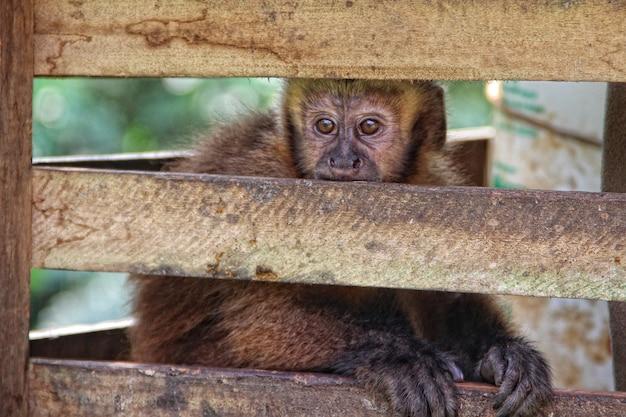 Een aap in een kooi in de jungle van puerto maldonado. peru
