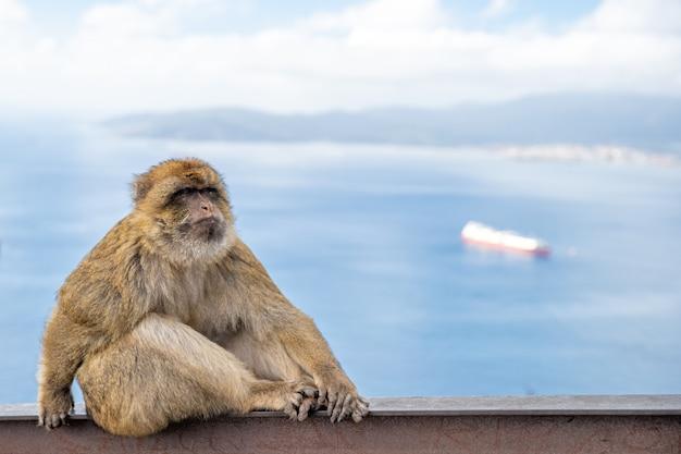 Een aap mannetje op een metalen rail, met uitzicht op zee met een boot op de achtergrond