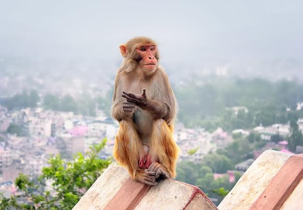 Een aap zit in de ochtendsmog op het hek onder de stad kathmandu