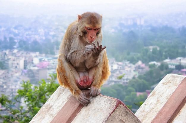Een aap zit op het hek onder de stad kathmandu in de ochtendsmog