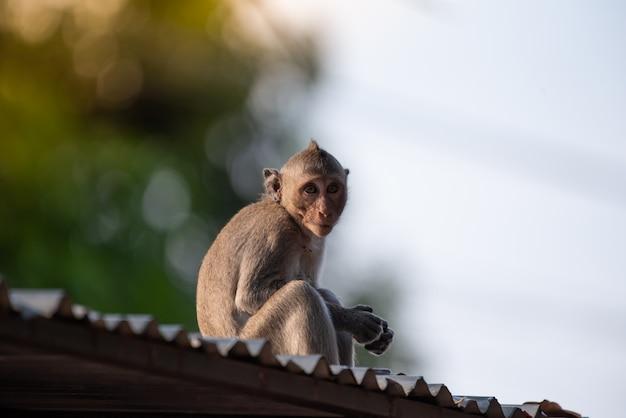 Een aap zittend op het dak van het huis