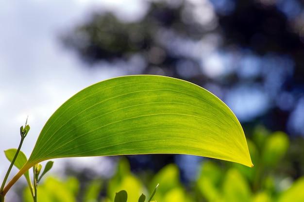 Een acacia crassicarpa jong groen blad
