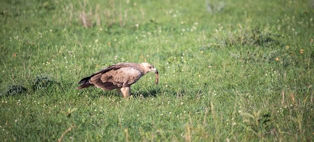Een adelaar midden in het grasland in een weiland