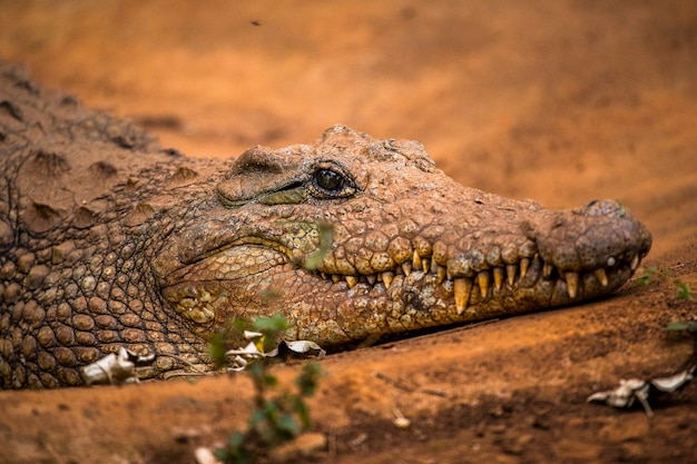 Een afrikaanse krokodil die loopt. bezoek aan het belangrijke weeshuis in nairobi van onbeschermde of gewonde dieren. kenia