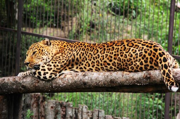 Een afrikaanse luipaard ligt in een boom in een dierentuin
