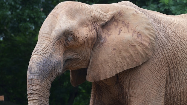 Een afrikaanse olifant, close-up,