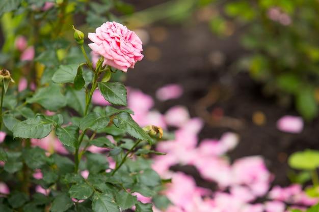 Een, alleen, mooie roze roos in een tuin