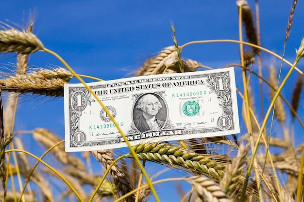 Een amerikaanse dollar op blauwe zonnige hemel en tarweoren, close-up in de natuur, agrarisch bedrijfsconcept