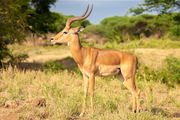 Een antilope die zich in de savanne bevindt