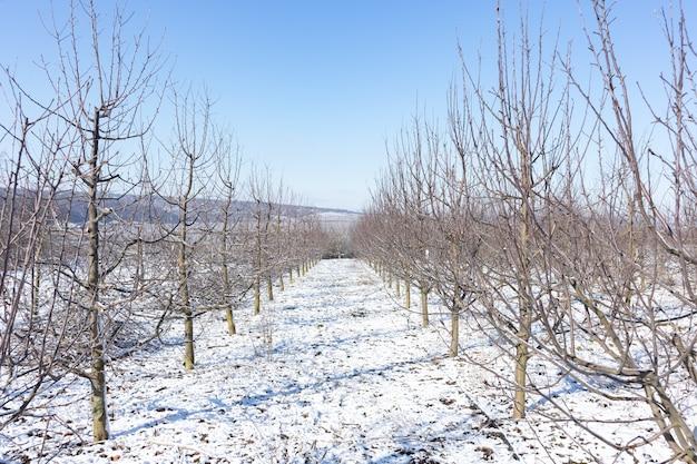 Een appelboomgaard in de zon op een blauwe hemel dag