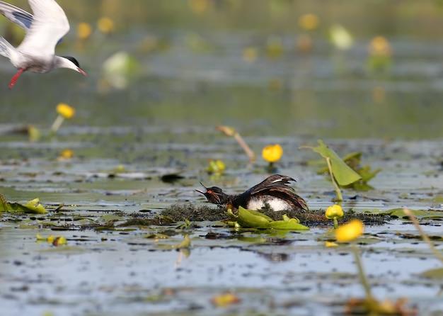 Een baardstern valt een zwarthalsfuut op hun nest aan. exotisch moment.