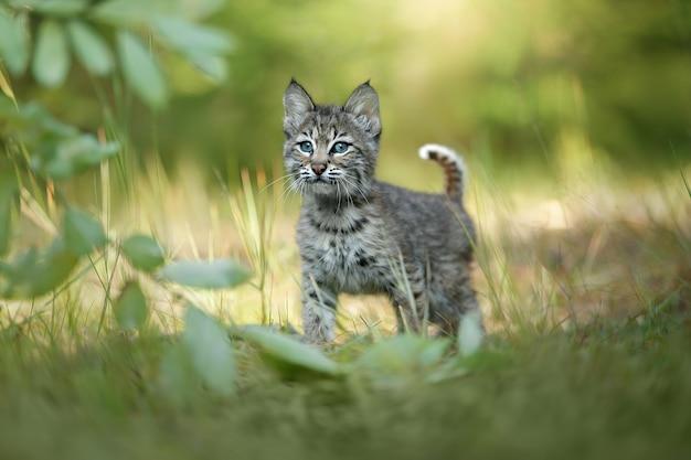 Een baby caracal loopt op het gras