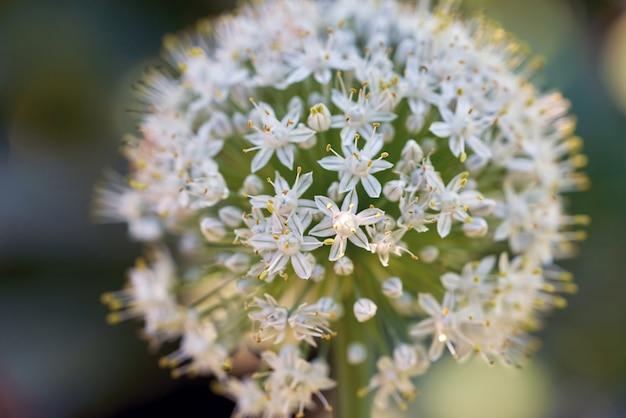 Een bal van kleine witte bloemen in het zonlicht.