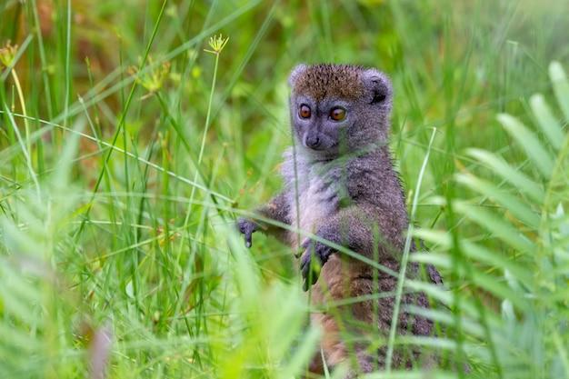 Een bamboemaki tussen het hoge gras ziet er nieuwsgierig uit