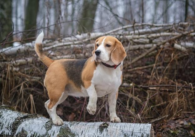 Een beagle-hond op een wandeling in het lentebos op een mistige dag. portret van een beagle-hond