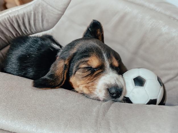 Een beagle-puppy van een maand oud ligt in zijn bed en slaapt zoet tegen de achtergrond van een wazige huiselijke sfeer en bokeh van harten.