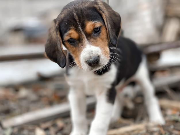 Een beagle-puppy van een maand oud ligt op de schoot van de eigenaar en slaapt zoet tegen de achtergrond van een wazige huiselijke sfeer en een bokeh van harten.
