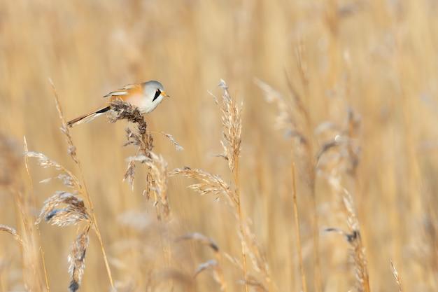 Een bebaarde rietzanger op tarweveld