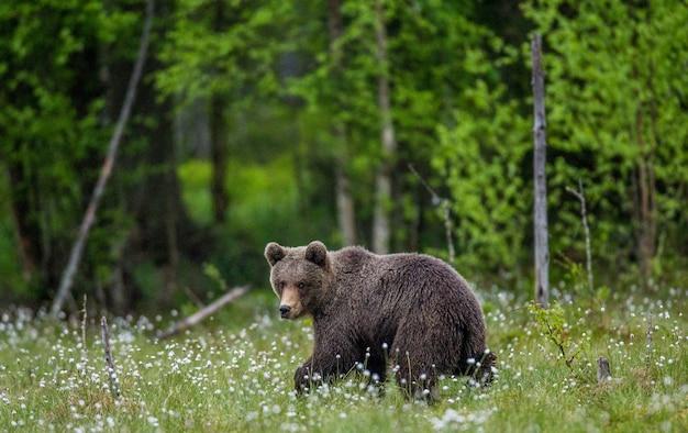 Een beer op de bosachtergrond tussen witte bloemen