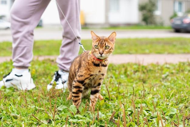 Een bengaalse kat loopt aan de lijn huiskat aan harnas buiten