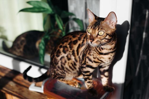 Een bengaalse kat zit in het interieur. de gouden kat. luipaard kat. binnenlandse luipaard. zwarte spotter-tabby