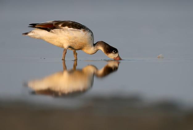Een bergeend baadt met plezier in de monding in de vroege ochtend. mooie weerspiegeling van een vogel in het water. zacht ochtendlicht. veel spatten zoals glas gefilmd op tiligul-estuarium. oekraïne