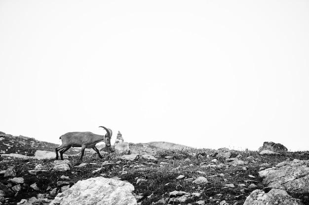 Een berggeit kijkt naar het landschap, arkhyz, rusland