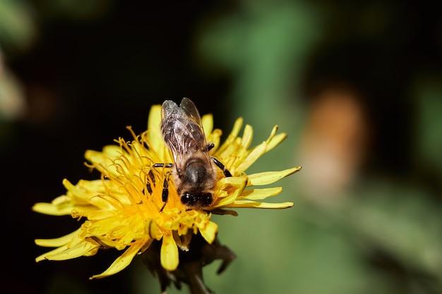 Een bij in een bijenstal zit op een gele paardenbloem en verzamelt stuifmeel om honing te maken, close-up