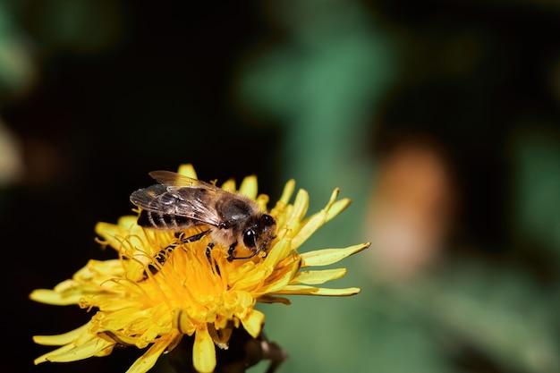 Een bij in een bijenstal zit op een gele paardenbloem en verzamelt stuifmeel om honing te maken