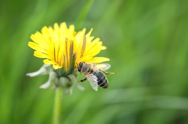 Een bij landt op een gele paardebloembloem