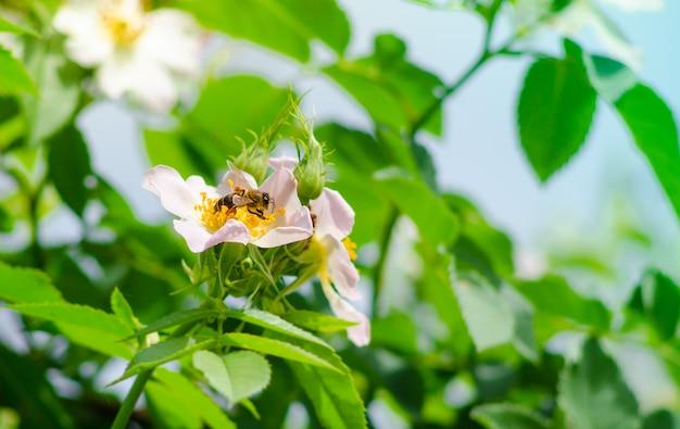Een bij op een bloem. een bij verzamelt nectar op een bloem van wilde roos.