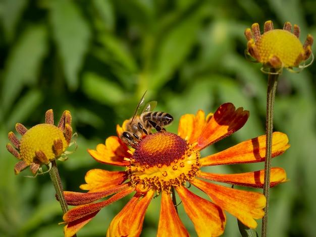 Een bij op een oranje heleniumbloem verzamelt nectar.