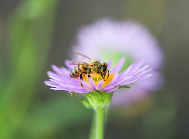 Een bij op een paarse bloem verzamelt stuifmeel