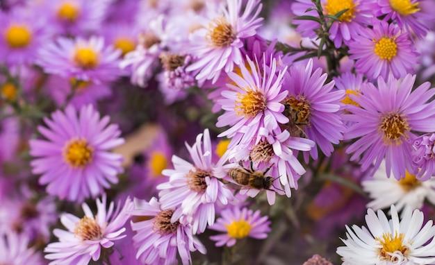 Een bij zit op een kleine aster september herfst verzamelt nectar