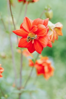 Een bij zit op een rode dahlia bloem in de tuin in de zomer