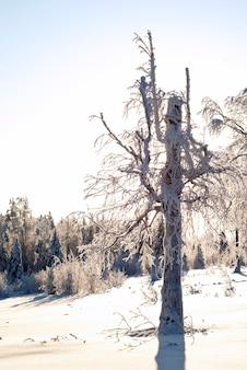 Een bizarre boom in de zonovergoten besneeuwde winterkap in het bergbos Premium Foto
