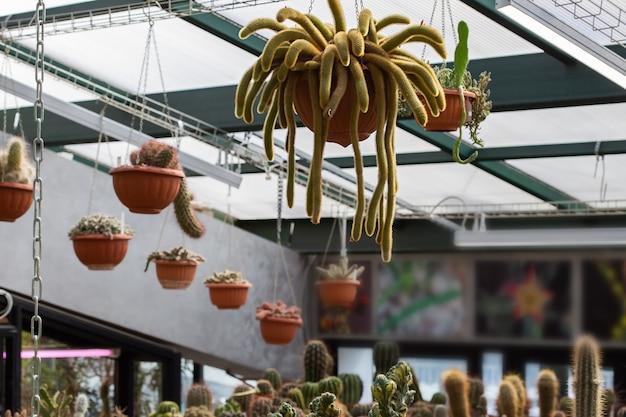 Een bizarre tropische cactus komt uit een hangende pot in een kas.