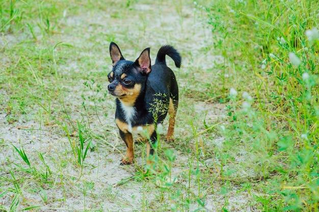 Een black and tan rasechte chihuahua-hond die zich in gras buiten bevindt en nadruk op het gezicht van de hond staart.