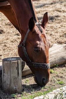 Een blaffend paard knabbelt aan dun gras en steekt zijn kop door het hek