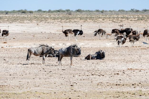 Een blauwe gnoe op waterhole, okaukuejo, etosha national park, namibië